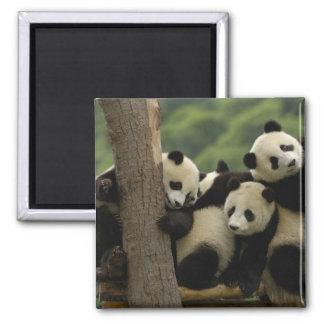 Giant panda babies Ailuropoda melanoleuca 4 Refrigerator Magnets