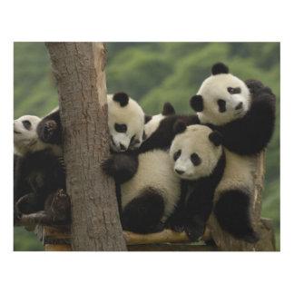 Giant panda babies Ailuropoda melanoleuca) 4 Panel Wall Art