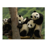 Giant panda babies Ailuropoda melanoleuca) 4 Postcard