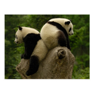 Giant panda babies (Ailuropoda melanoleuca) 4 Postcard