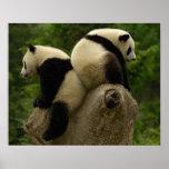 Giant panda babies (Ailuropoda melanoleuca) 4 Print