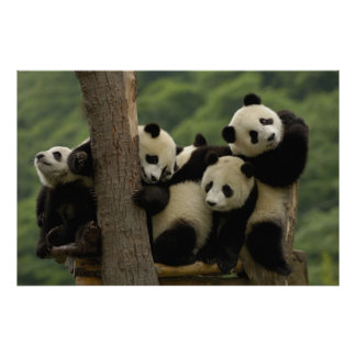 Giant panda babies Ailuropoda melanoleuca 4 Print
