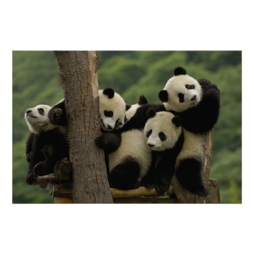 Giant panda babies Ailuropoda melanoleuca) 4 Print