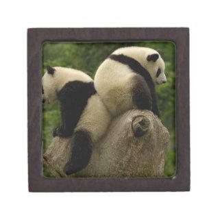 Giant panda babies (Ailuropoda melanoleuca) 4 Premium Keepsake Boxes