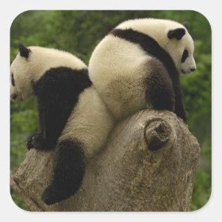 Giant panda babies (Ailuropoda melanoleuca) 4 Square Sticker