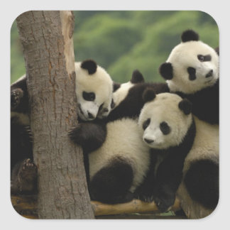 Giant panda babies Ailuropoda melanoleuca) 4 Sticker