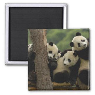 Giant panda babies Ailuropoda melanoleuca) 5 2 Inch Square Magnet