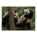 Giant panda babies Ailuropoda melanoleuca) 5 Card
