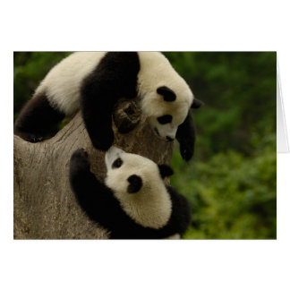 Giant panda babies (Ailuropoda melanoleuca) 5 Card