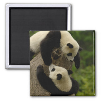 Giant panda babies (Ailuropoda melanoleuca) 5 Magnet