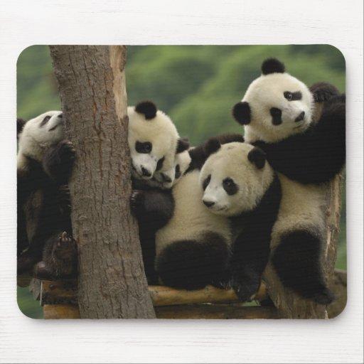 Giant panda babies Ailuropoda melanoleuca) 5 Mouse Pad