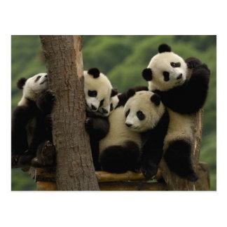 Giant panda babies Ailuropoda melanoleuca) 5 Postcard