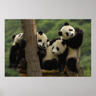 Giant panda babies Ailuropoda melanoleuca 5 Posters