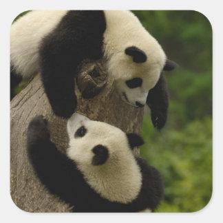 Giant panda babies (Ailuropoda melanoleuca) 5 Square Stickers
