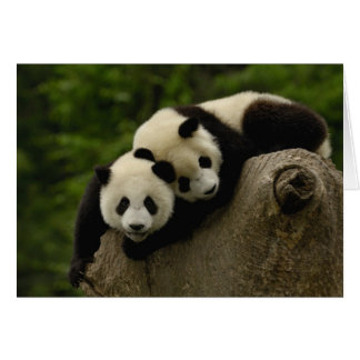 Giant panda babies Ailuropoda melanoleuca) 6 Card