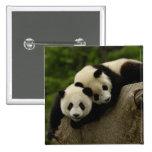 Giant panda babies Ailuropoda melanoleuca) 6 Pinback Button