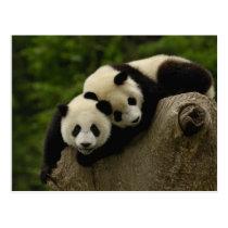Giant panda babies Ailuropoda melanoleuca) 6 Postcard