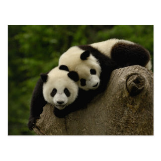 Giant panda babies Ailuropoda melanoleuca) 6 Post Cards