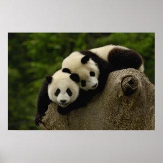 Giant panda babies Ailuropoda melanoleuca) 6 Poster