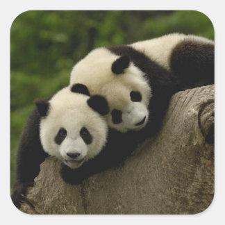 Giant panda babies Ailuropoda melanoleuca) 6 Square Sticker