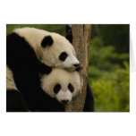 Giant panda babies Ailuropoda melanoleuca) 7 Greeting Card