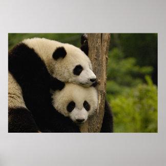 Giant panda babies Ailuropoda melanoleuca) 7 Poster