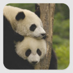 Giant panda babies Ailuropoda melanoleuca) 7 Square Stickers