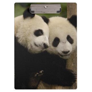 Giant panda babies Ailuropoda melanoleuca) 8 Clipboards