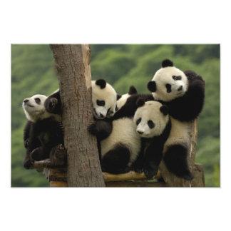 Giant panda babies Ailuropoda melanoleuca 8 Photo Print