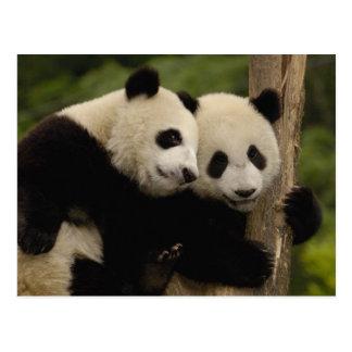Giant panda babies Ailuropoda melanoleuca) 8 Postcard