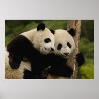 Giant panda babies Ailuropoda melanoleuca) 8 Poster