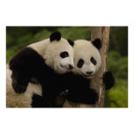 Giant panda babies Ailuropoda melanoleuca) 8 Print
