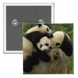 Giant panda babies Ailuropoda melanoleuca) 9 2 Inch Square Button
