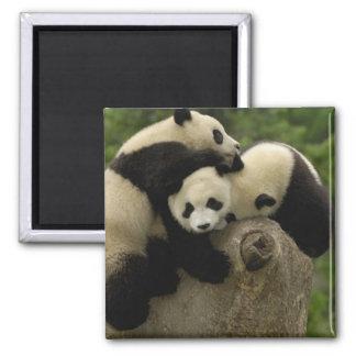 Giant panda babies Ailuropoda melanoleuca) 9 Magnet