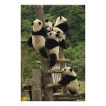 Giant panda babies Ailuropoda melanoleuca) 9 Photo Print