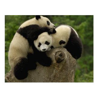 Giant panda babies Ailuropoda melanoleuca) 9 Postcard