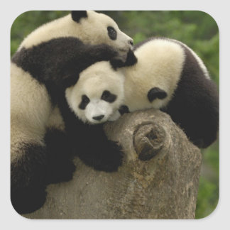 Giant panda babies Ailuropoda melanoleuca) 9 Square Sticker