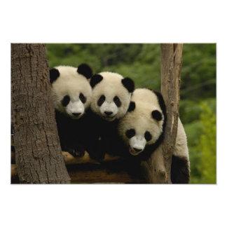 Giant panda babies Ailuropoda melanoleuca Photo Print