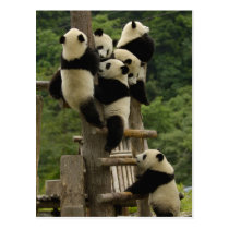 Giant panda babies Ailuropoda melanoleuca) Postcard