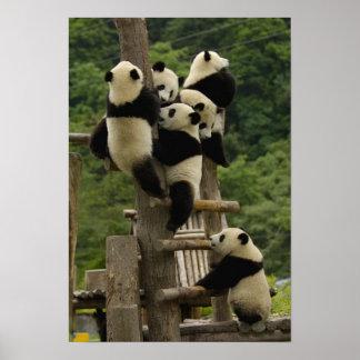 Giant panda babies Ailuropoda melanoleuca Posters