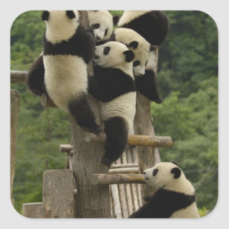 Giant panda babies Ailuropoda melanoleuca) Square Sticker