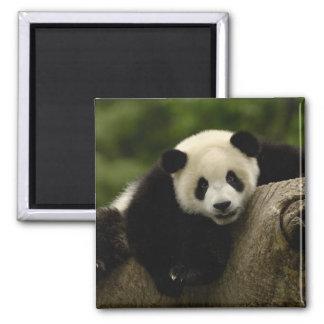 Giant panda baby Ailuropoda melanoleuca) 10 2 Inch Square Magnet
