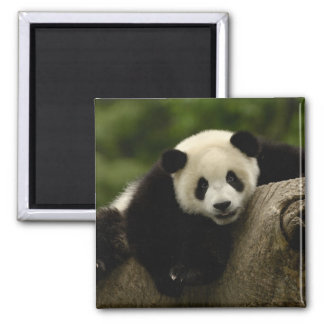 Giant panda baby Ailuropoda melanoleuca) 10 Magnet
