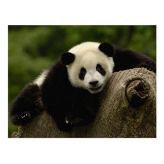 Giant panda baby Ailuropoda melanoleuca) 10 Postcard