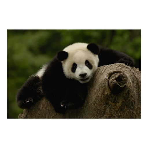 Giant panda baby Ailuropoda melanoleuca) 10 Posters