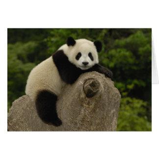 Giant panda baby Ailuropoda melanoleuca) 11 Card