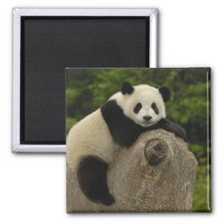 Giant panda baby Ailuropoda melanoleuca) 11 Magnet