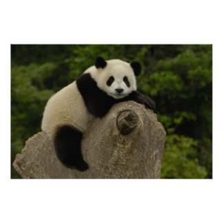 Giant panda baby Ailuropoda melanoleuca 11 Print