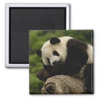Giant panda baby Ailuropoda melanoleuca) 12 Magnet