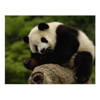 Giant panda baby Ailuropoda melanoleuca) 12 Postcard